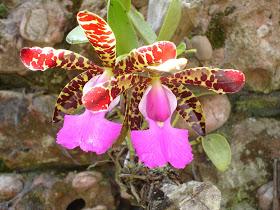 Orquídea da região do Morro do Pai Inácio