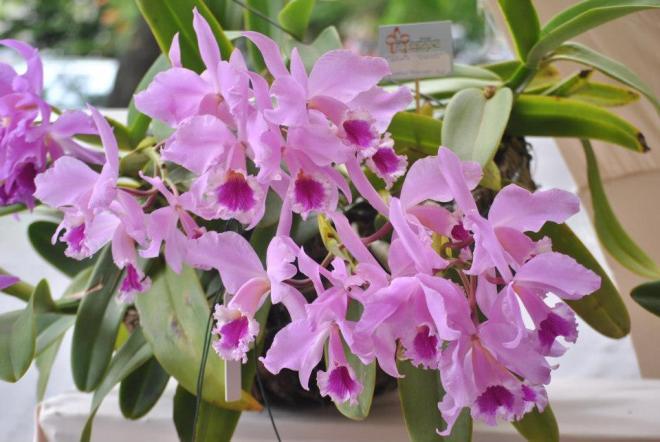 Cattleya-labiata1
